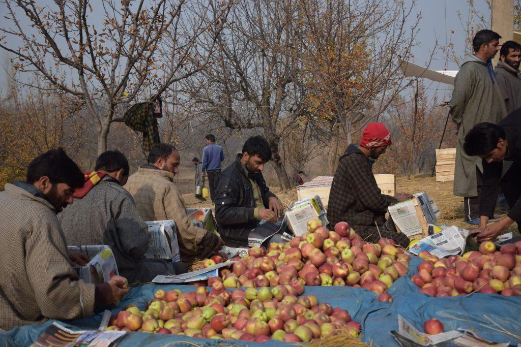 Apple-farmers-in-Kashmir-package-heir-crops-to-send-to-a-mandi-or-market-yard.-1024x683
