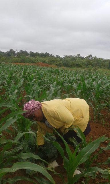 Farmer-Elizabeth-Mpofu-in-her-maize-plot-credit-Elizabeth-Mpofu-1-e1606849726380