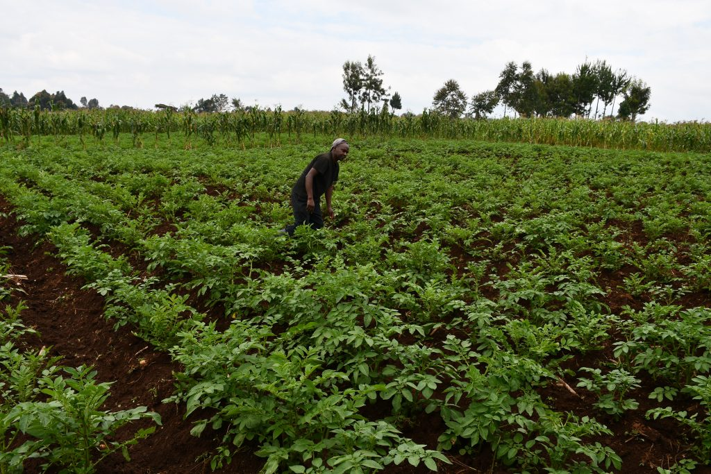 Kimani-Mwanikian-Irish-potato-farmer-in-Elburgon-tends-to-his-crop-after-preparing-his-5-acre-land-using-a-chisel-plough-and-tractor-that-he-acquired-by-AMS-.Small-holder-farmers-1024x683