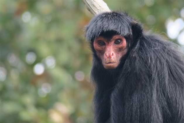 Red-faced-spider-monkeys_-629x419