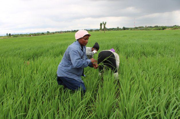 Women-rice-farmers-in-a-field-Accra-Ghana-September-2019-credit-Busani-Bafana-IPS-629x419